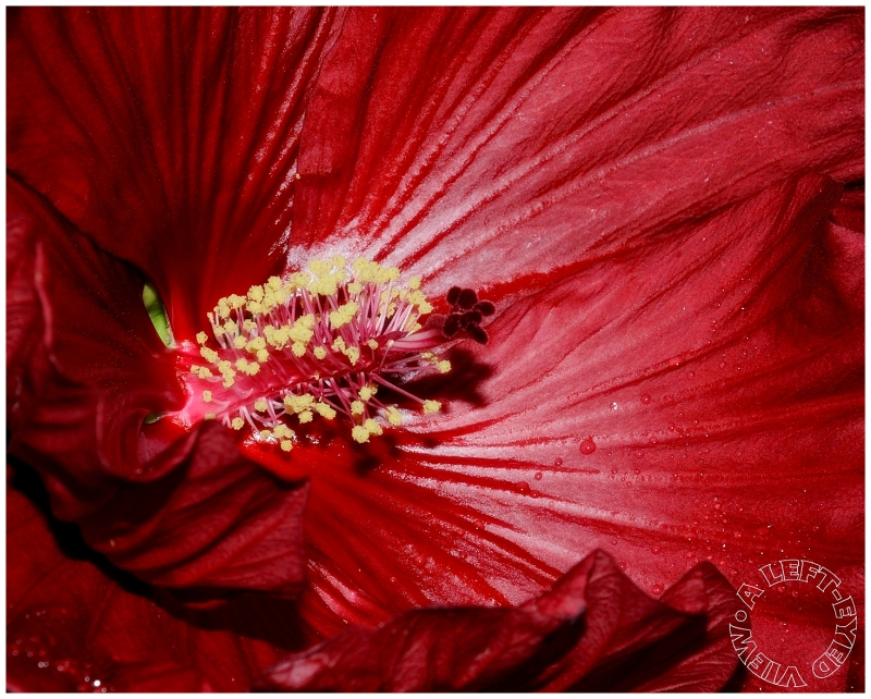 "Hibiscus, ""A Left-Eyed View"""