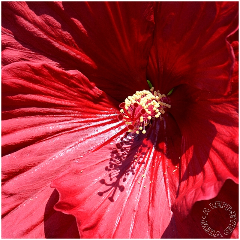 """Hibiscus, """"A Left-Eyed View"""""""
