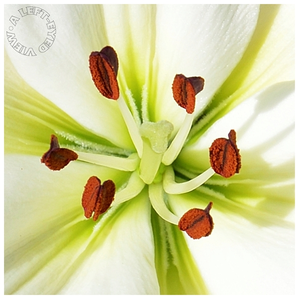 "anthers, filaments, Lily, ""A Left-Eyed View"""