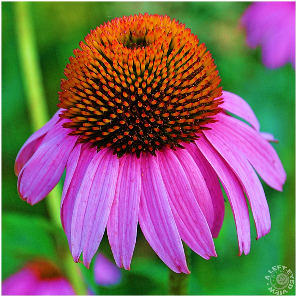 "Echinacea, ""Cone Flower"", ""A Left-Eyed View"""