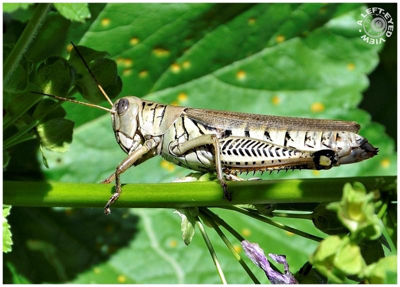 """Grasshopper, """"A Left-Eyed View"""""""