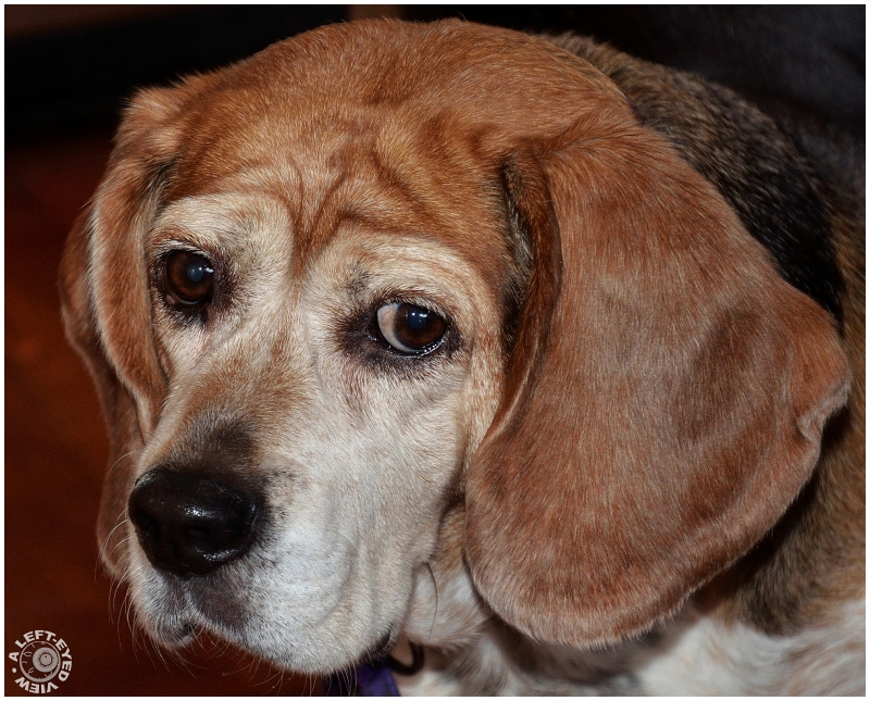 """""""A Left-Eyed View"""", beagle"""