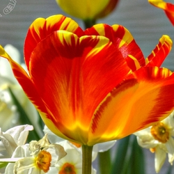 """""""A Left-Eyed View"""", """"tulip"""""""