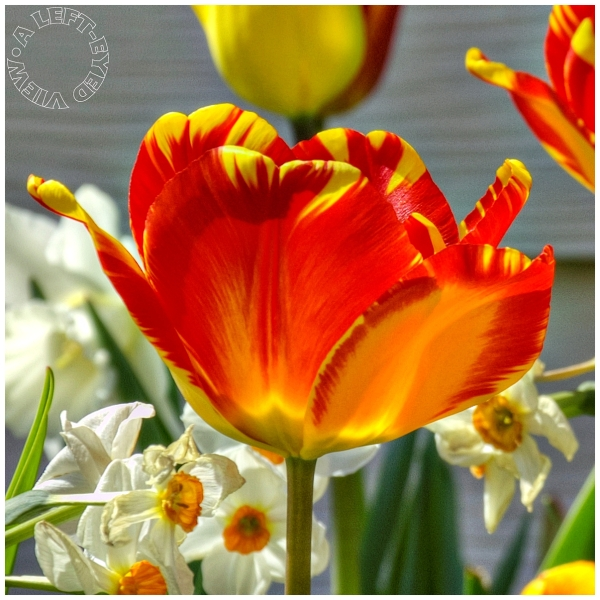 """A Left-Eyed View"", ""tulip"""