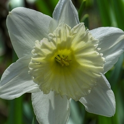"""""""A Left-Eyed View"""", """"daffodil"""""""