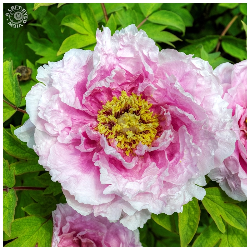"""""""A Left-Eyed View"""", """"Peony"""""""