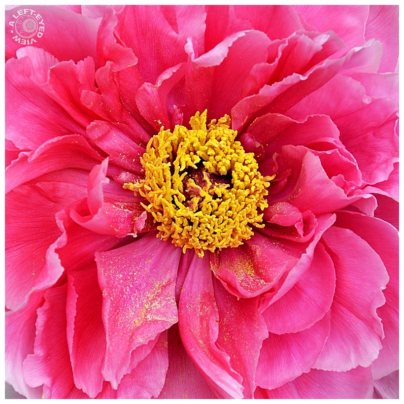 """A Left-Eyed View"", ""Peony"""