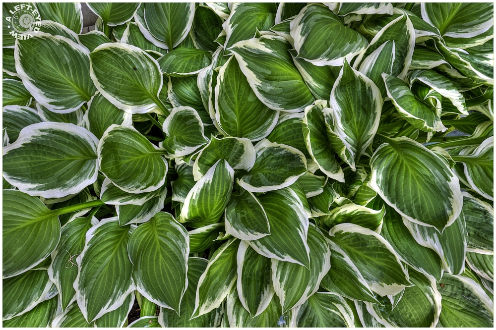"""A Left-Eyed View"", ""Hosta"""