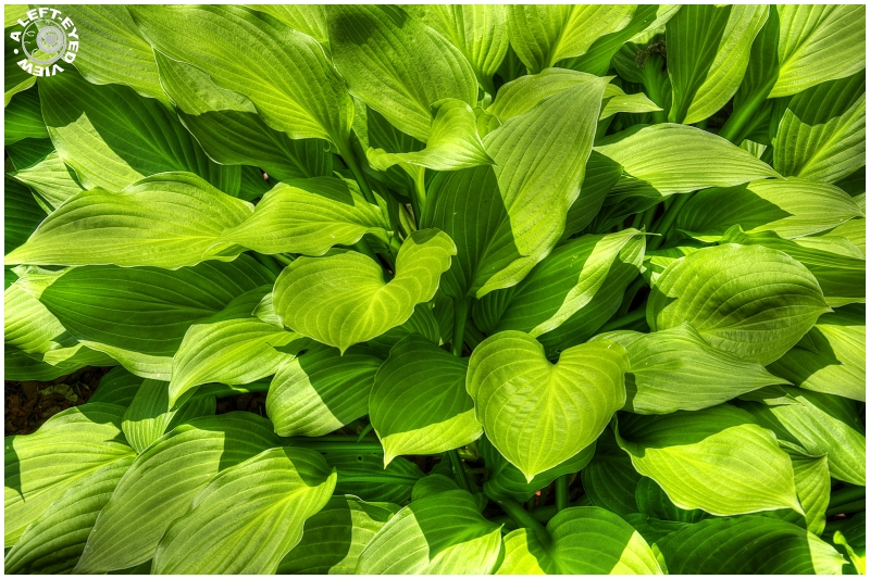 "Hosta, ""A Left-Eyed View"""