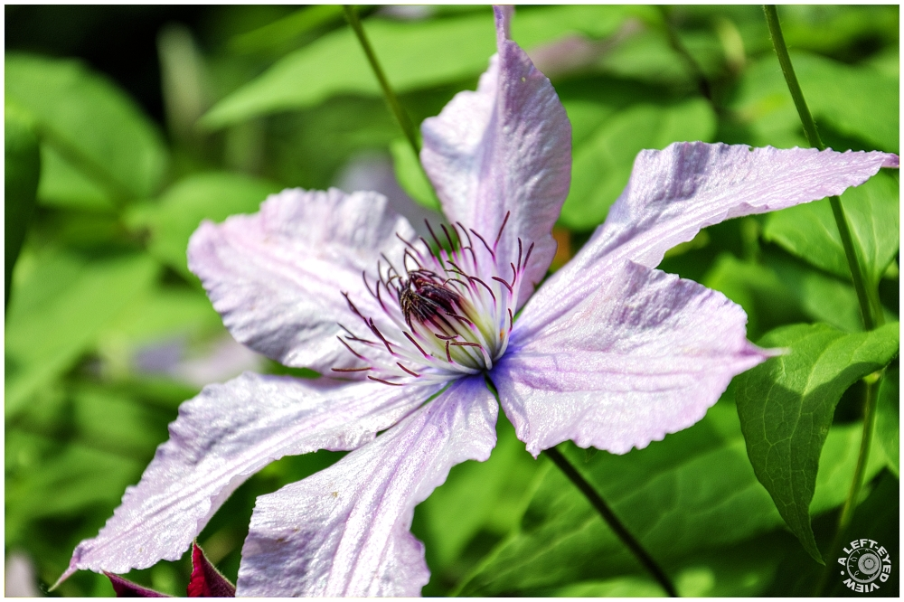 """""""A Left-Eyed View"""", """"clematis"""""""