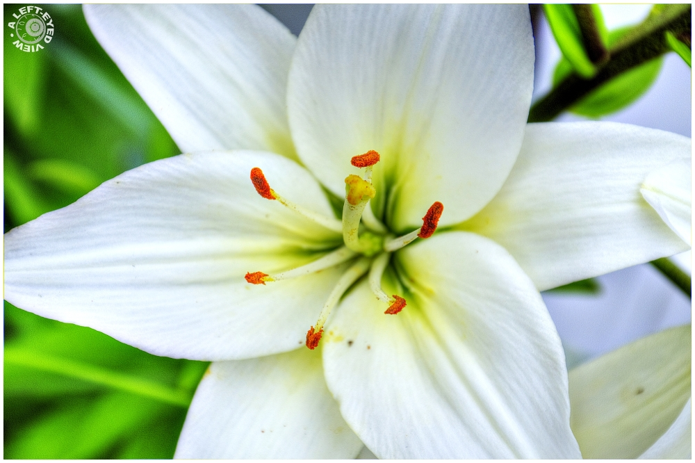 """A Left-Eyed View"", ""Asiatic Lily"""