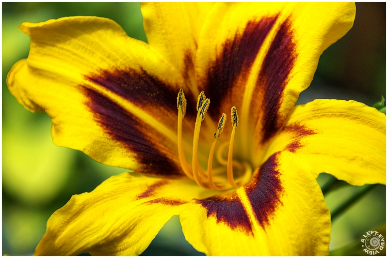 """""""A Left-Eyed View"""", """"Daylily"""""""