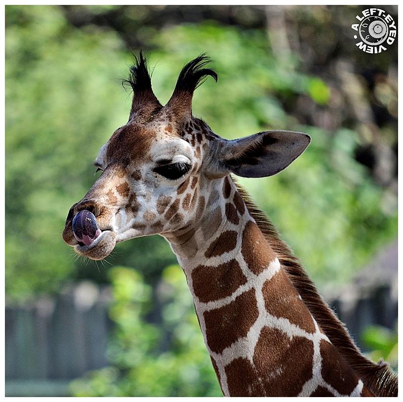 """Giraffe, """"A Left-Eyed View"""", Sabourin"""