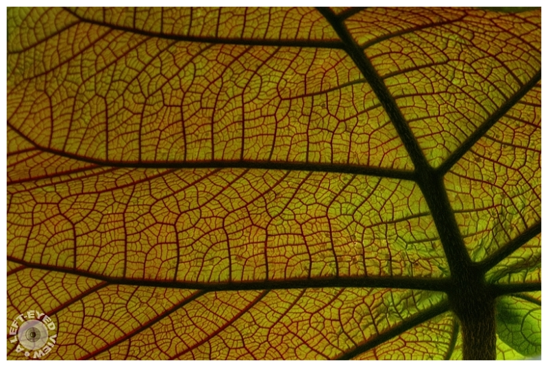 """A Left-Eyed View"", Sabourin, vein, leaf"