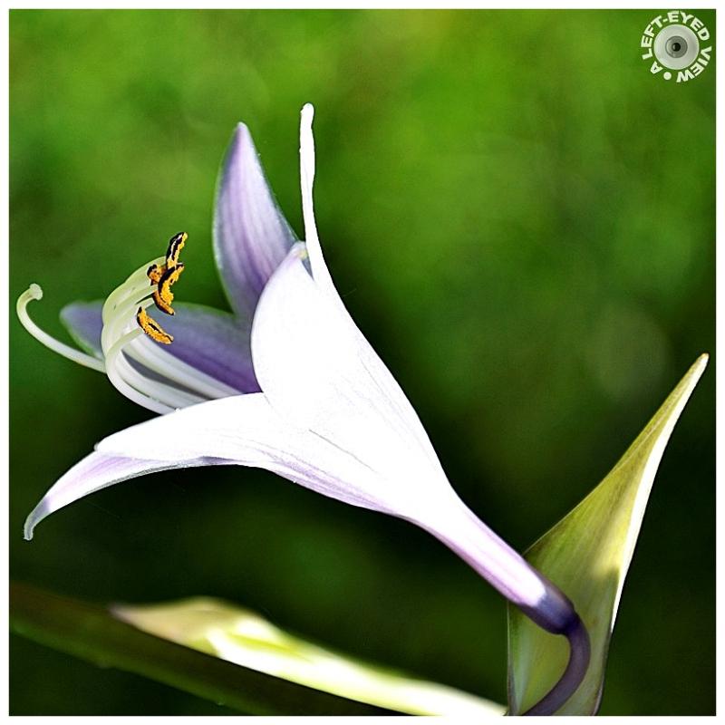 """A Left-Eyed View"", Sabourin, hosta bloom"