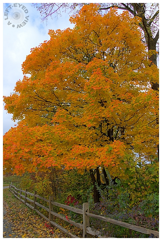 Fenced In Maple