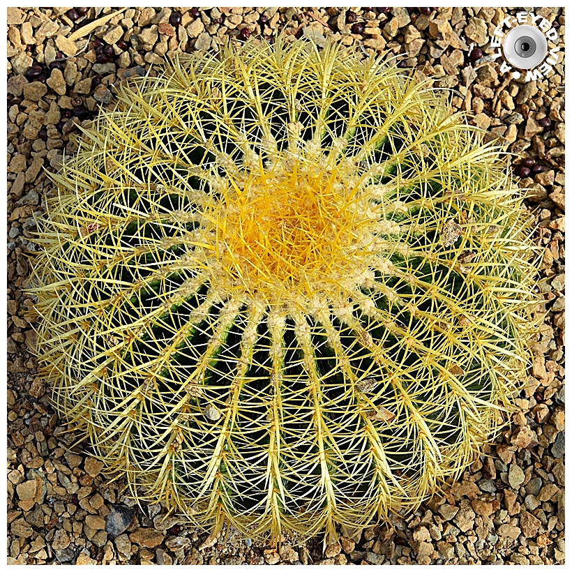 """A Left-Eyed View"", Sabourin, Golden Barrel Cactus"