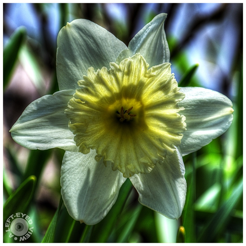 """""""A Left-Eyed View"""", Sabourin, Daffodil"""