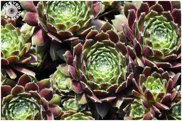 """A Left-Eyed View"", Sabourin, Hen and Chicks"