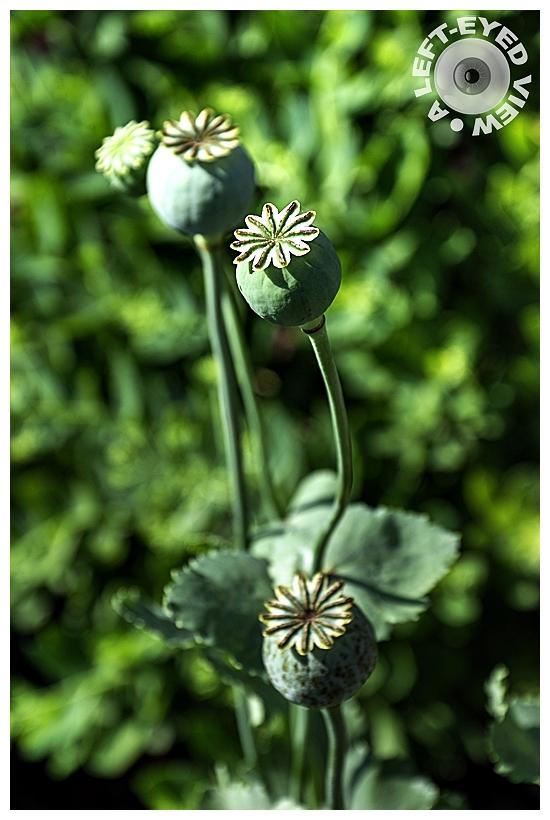 , Sabourin, Seed Pod