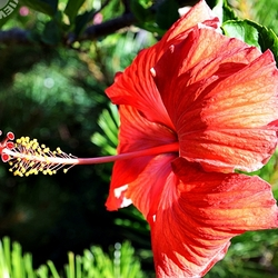 """""""A Left-Eyed View"""", Sabourin, Hibiscus"""