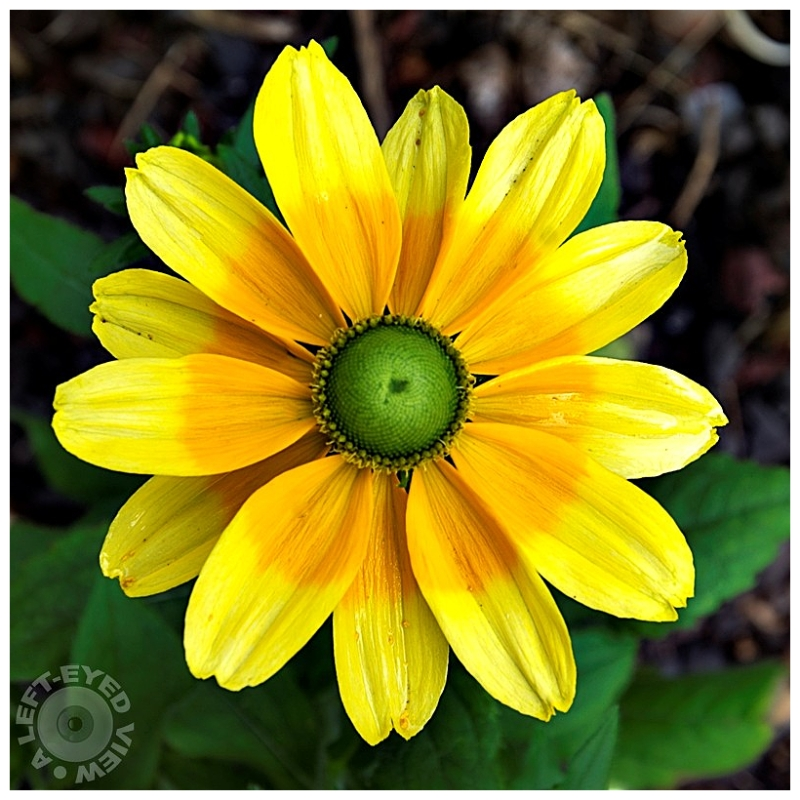 """""""A Left-Eyed View"""", Sabourin, Brown-Eyed Susan"""