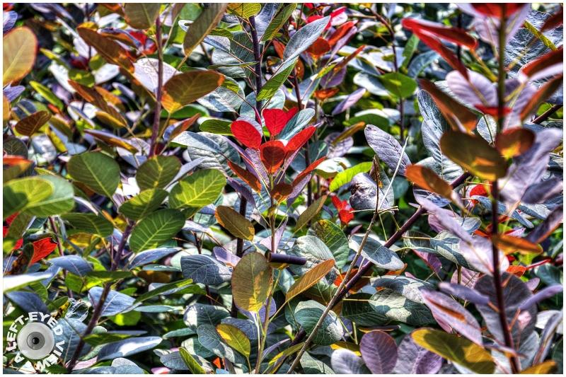 """Royal Purple Eurasian Smoke Tree"""
