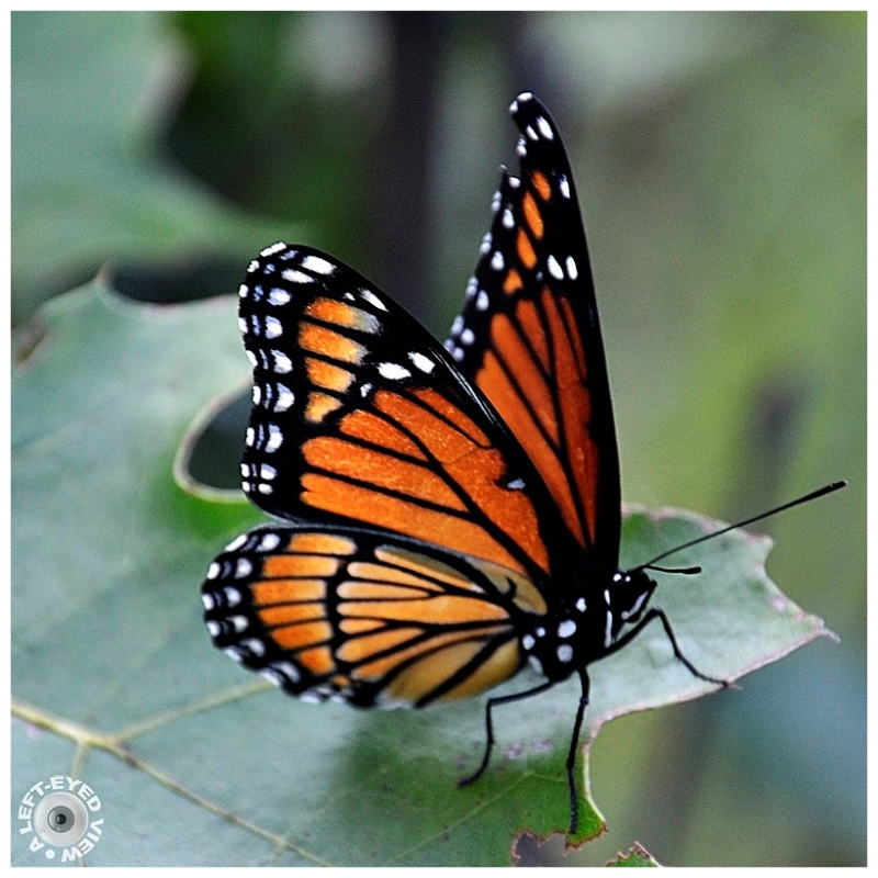 """""""A Left-Eyed View"""", Sabourin, """"Monarch butterfly"""""""