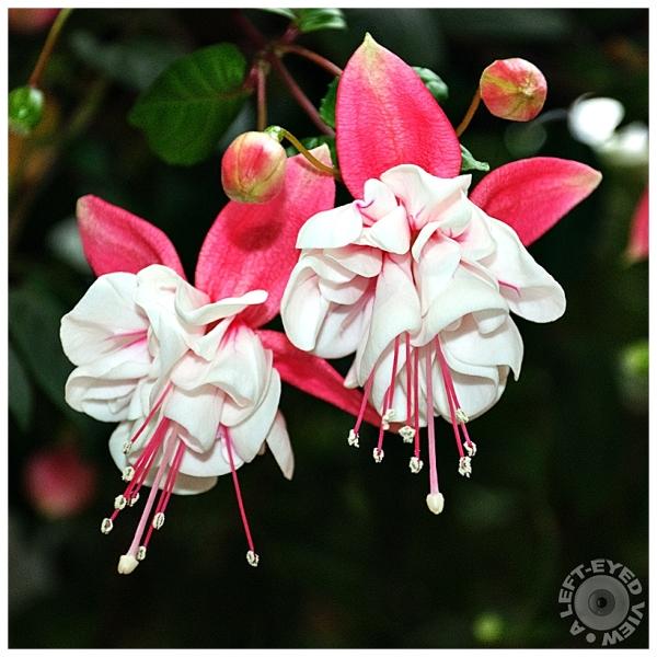 fuchsia flower, Sabourin