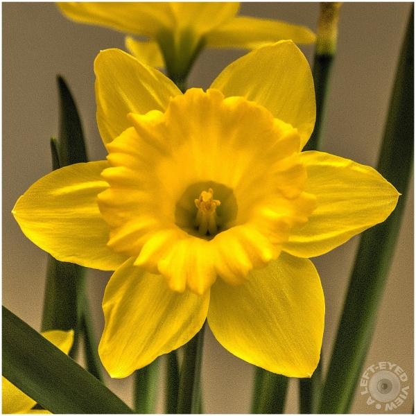 Daffodils, Sabourin