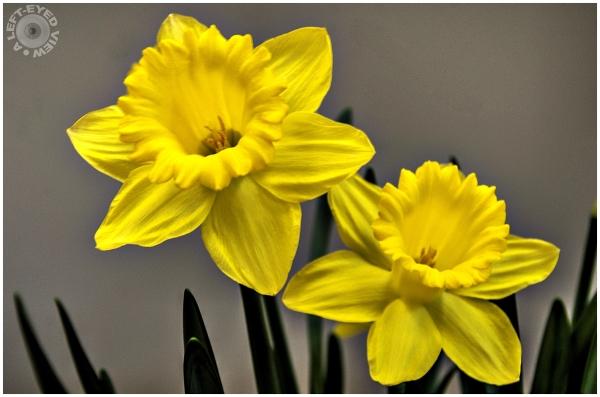 Daffodil, Sabourin