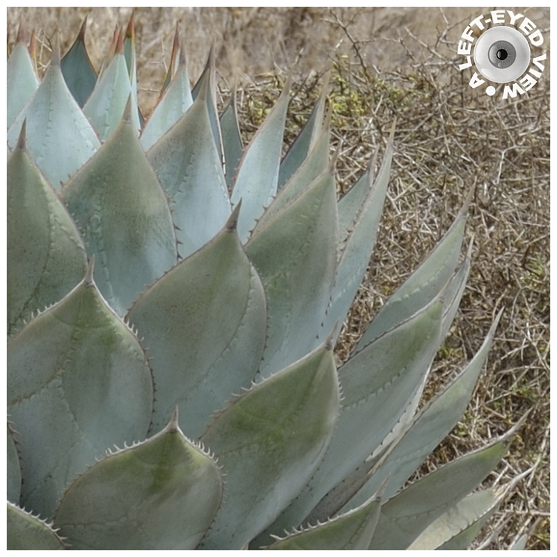 """Agave Parryi"", Sabourin"