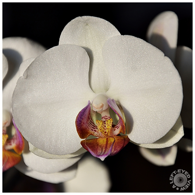 "orchid, Sabourin, ""A Left-Eyed View"""