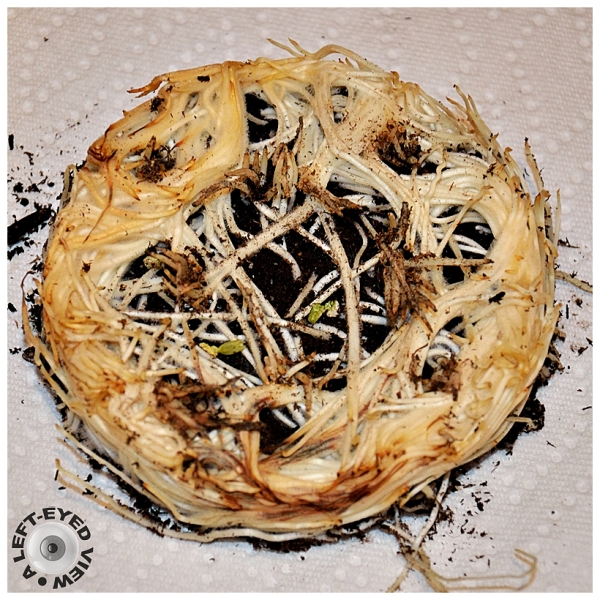"""spaghetti roots """"Silly Tuesday"""""""