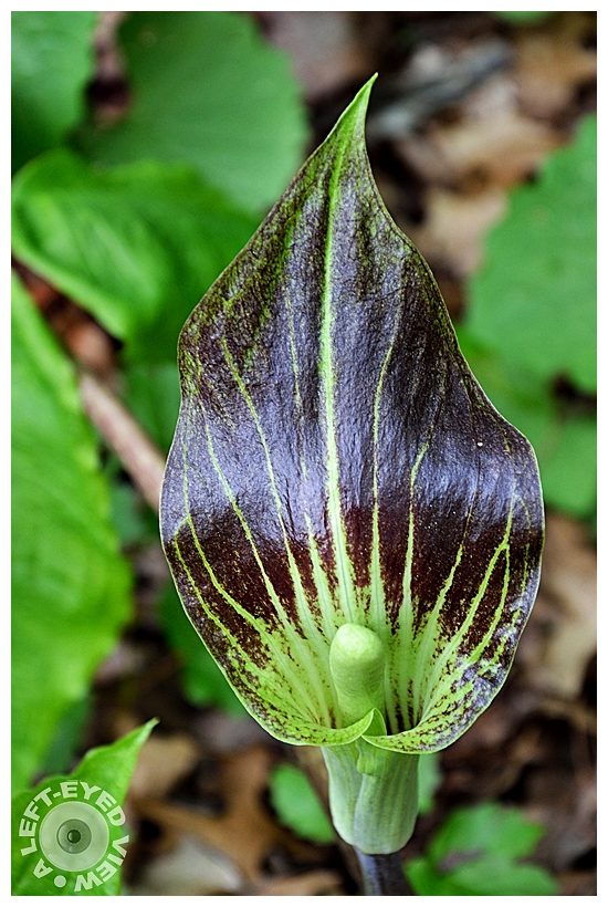"""Jack in the Pulpit"", Sabourin"
