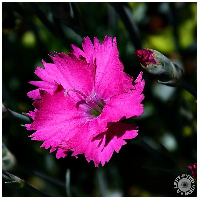 Dianthus, Sabourin