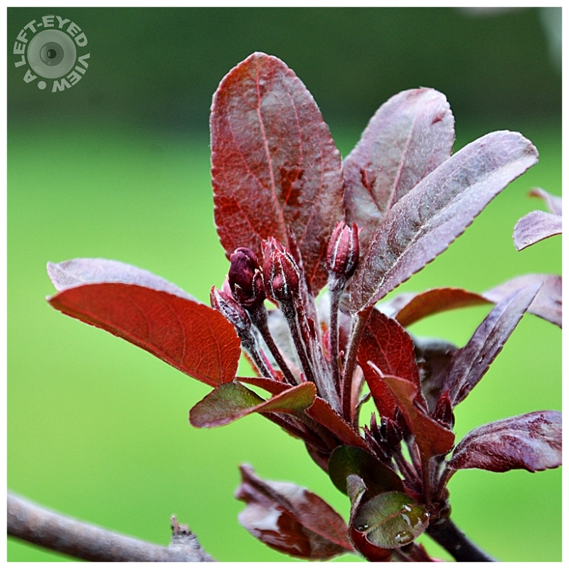 Newport Purple Leaf Plum, Sabourin