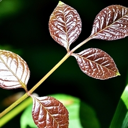 Foliage Sabourin