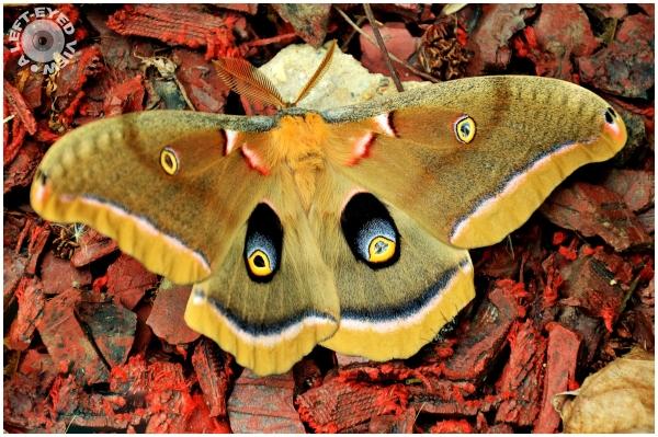 Moth, Sabourin