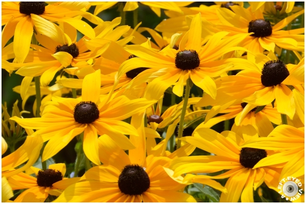 "Black-Eyed Susan, Sabourin, ""A Left-Eyed View"""
