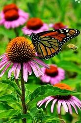 coneflower, monarch butterfly, Sabourin