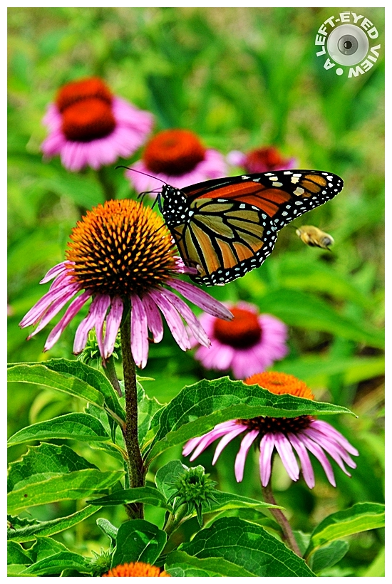 coneflower, monarch butterfly, Sabourin