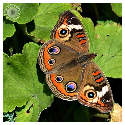 """butterfly, """"A Left-Eyed View"""""""
