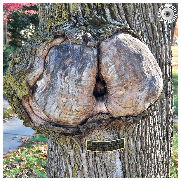 Butt Tree of Warren Street