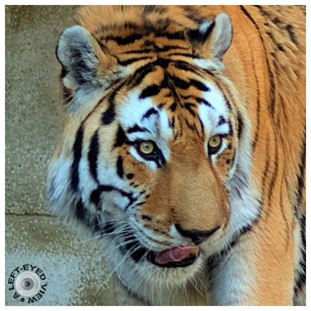 """Tiger, """"A Left-Eyed View"""""""