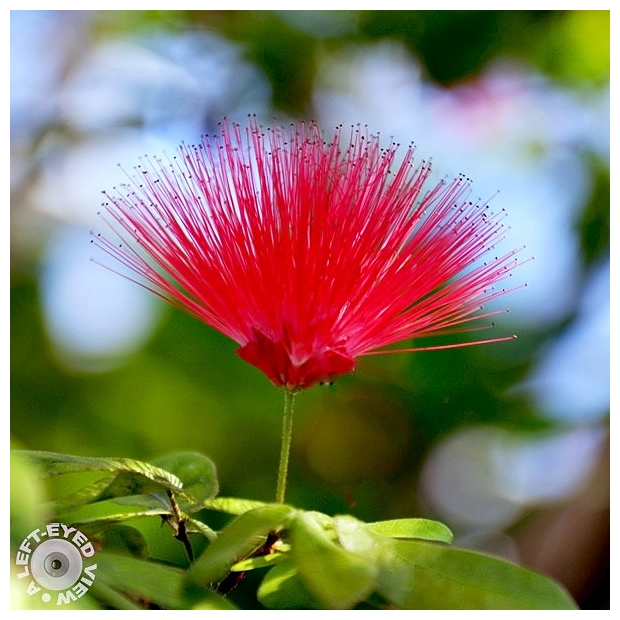 "Calliandra, ""Powder Puff Tree"""