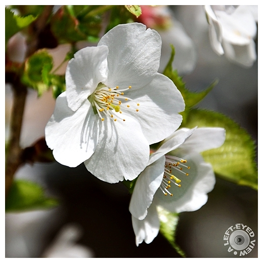 Crabapple Blossoms,