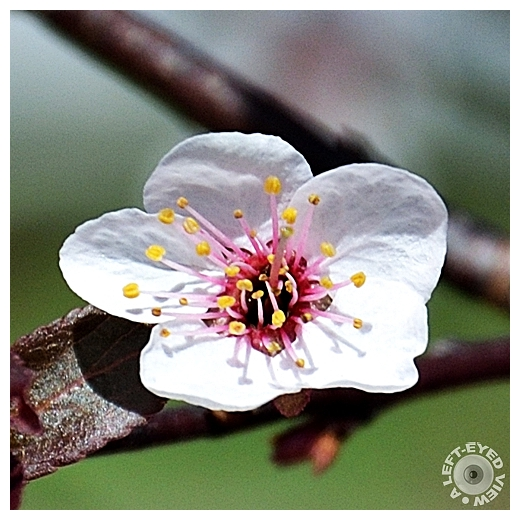 Newport Purple Leaf Plum Blossom
