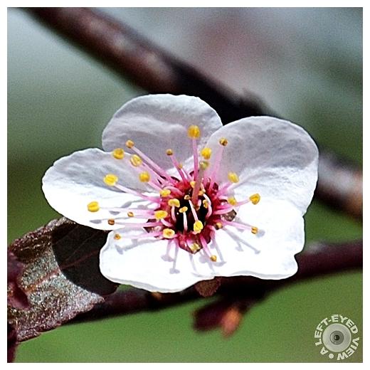 Newport Purple Leaf Plum Blossom