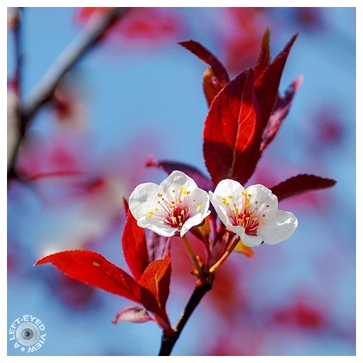 Newport Purple Leaf Plum Blossoms